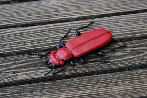 scarabée rouge
