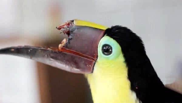 toucan bec cassé