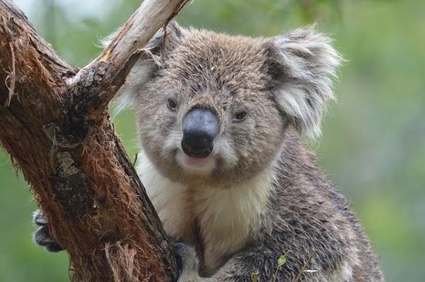 Koala montant à un arbre